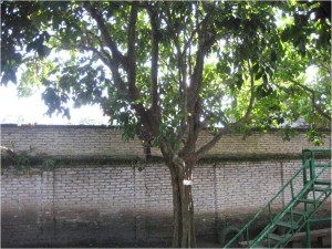 Pohon Induk Duku Ruslan