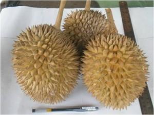 Durian Gulagaet